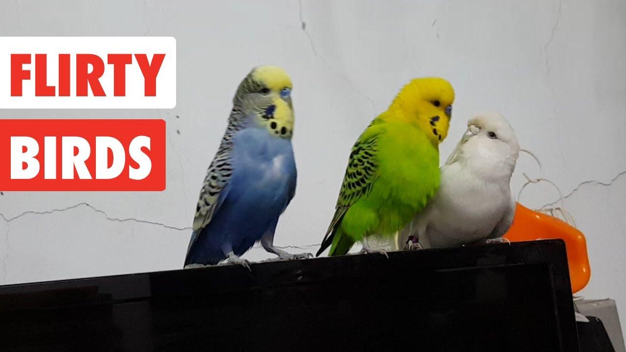flirty birds funny bird video compilation 2017   youtube