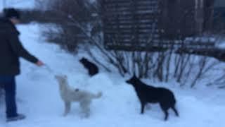 Станция Пулозеро голодные собаки. Четыре штуки. Одна не подходит.