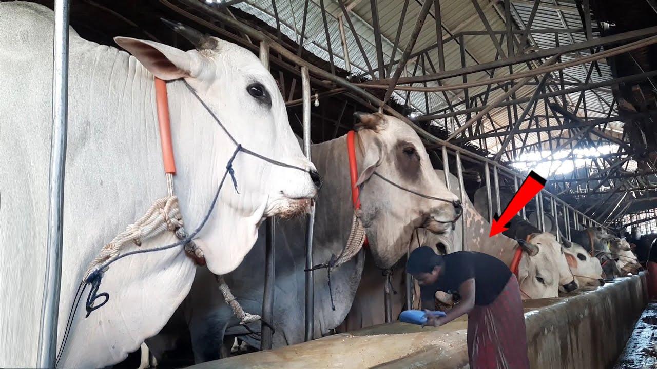 Biggest cow farm in Bangladesh 2021 | Sadeeq Agro 2021 new collection | Thebullshow