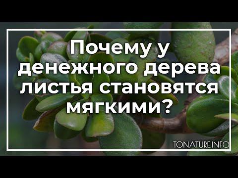 Почему у денежного дерева листья становятся мягкими? | toNature.Info