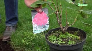 Как посадить рододендрон? Удобрение для роста.
