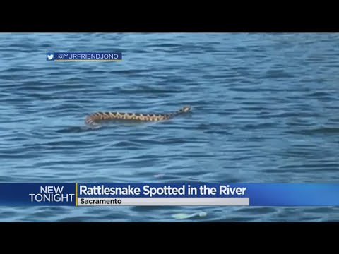 Snake On The Water: Rattlesnake Spotted Swimming In American River
