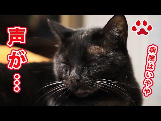 【病気?】黒猫の声が大変なことになった 【瀬戸の黒猫日記】