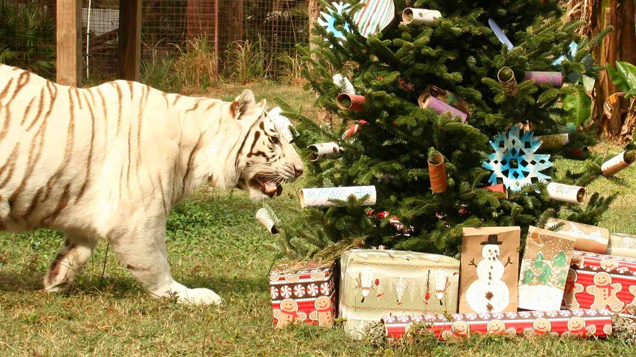Big Cat Rescue Christmas Trees