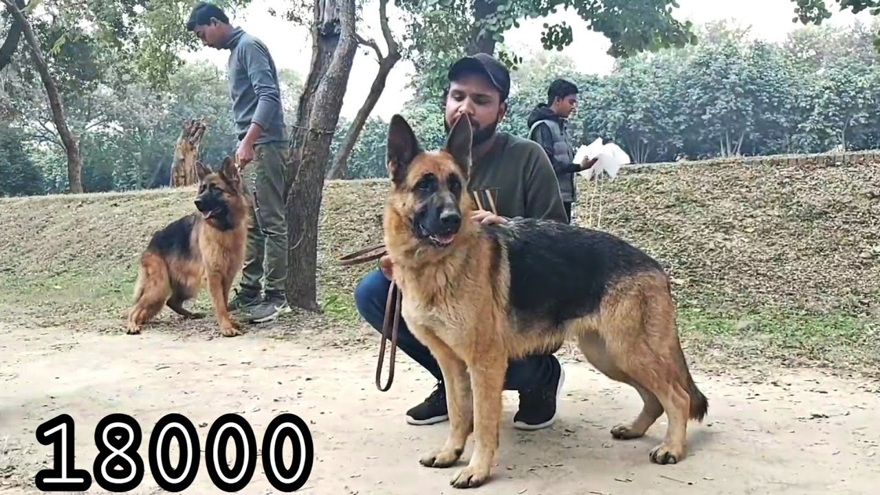 100 German Shepherd Top Class In Lahore Kennel Club In Pakistan