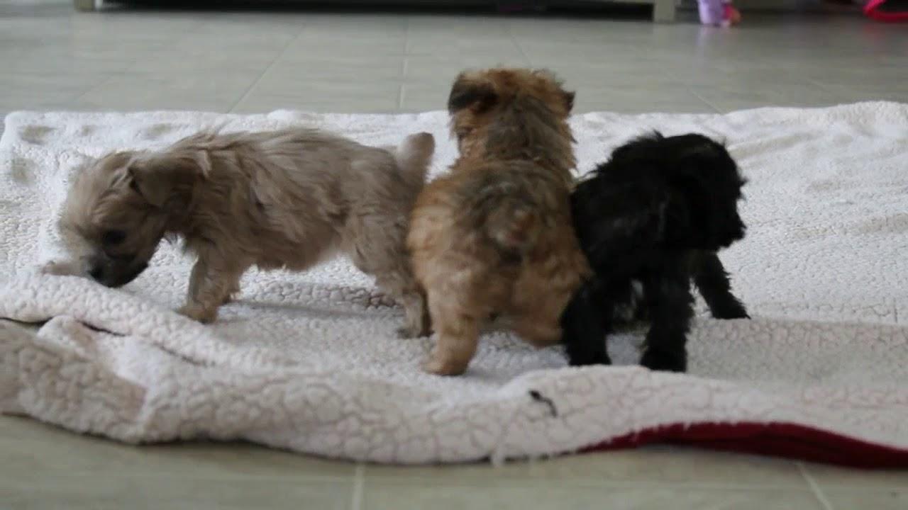 Shorkie Poo Puppies Goldenacresdogscom