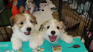 Coton de Tulear Puppies For Sale - Jolie 2/24/21