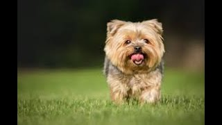 #208 SILKY TERRIER  | Which Dog Should I Get? Dog Breed Selector