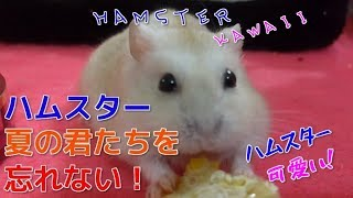 ハムスター【夏の君たちを忘れない!】☆ハムスター可愛い☆ thumbnail