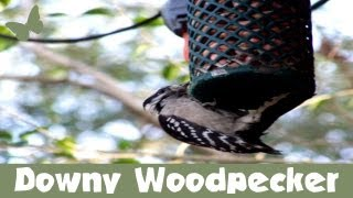 Downy Woodpecker On Nugget Feeder (feederwatch)