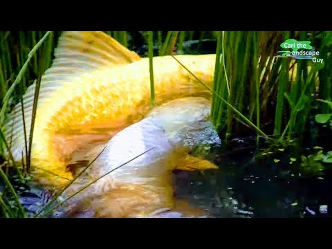 Kanno koi farm 93 cm jumbo koi sanke manual spawning for Fish pond fertilization