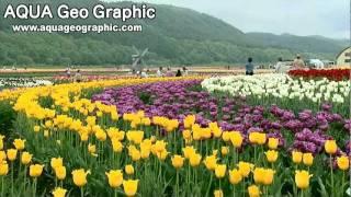 上湧別町チューリップ公園(HD1280x720p) 1,200,000 Tulip.flv