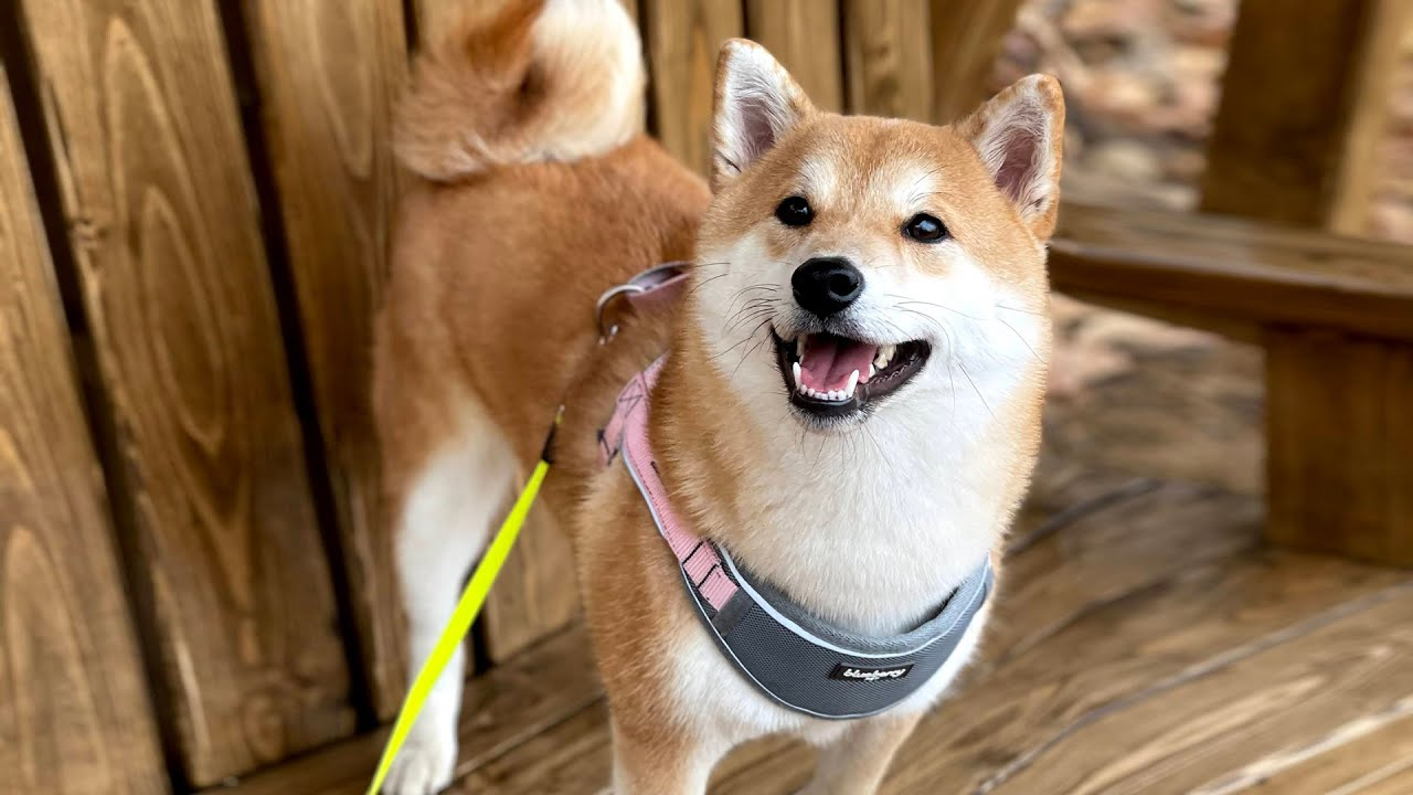 Download Days in the Life of Shiba Inu (Last Days in Korea)