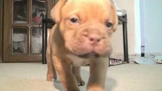 Dogue De Bordeaux Puppy 5 Weeks