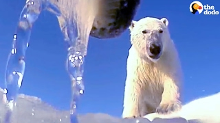 Scientists Attach Cameras To Polar Bears