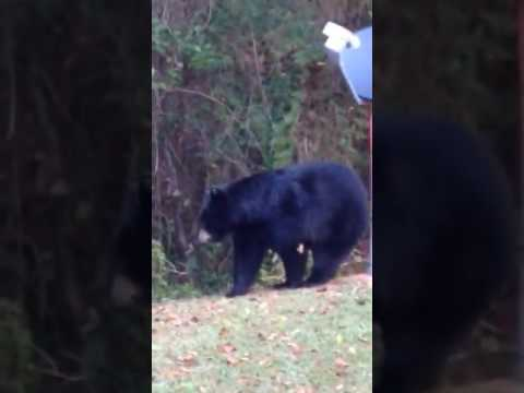 Tallahassee Florida black bear