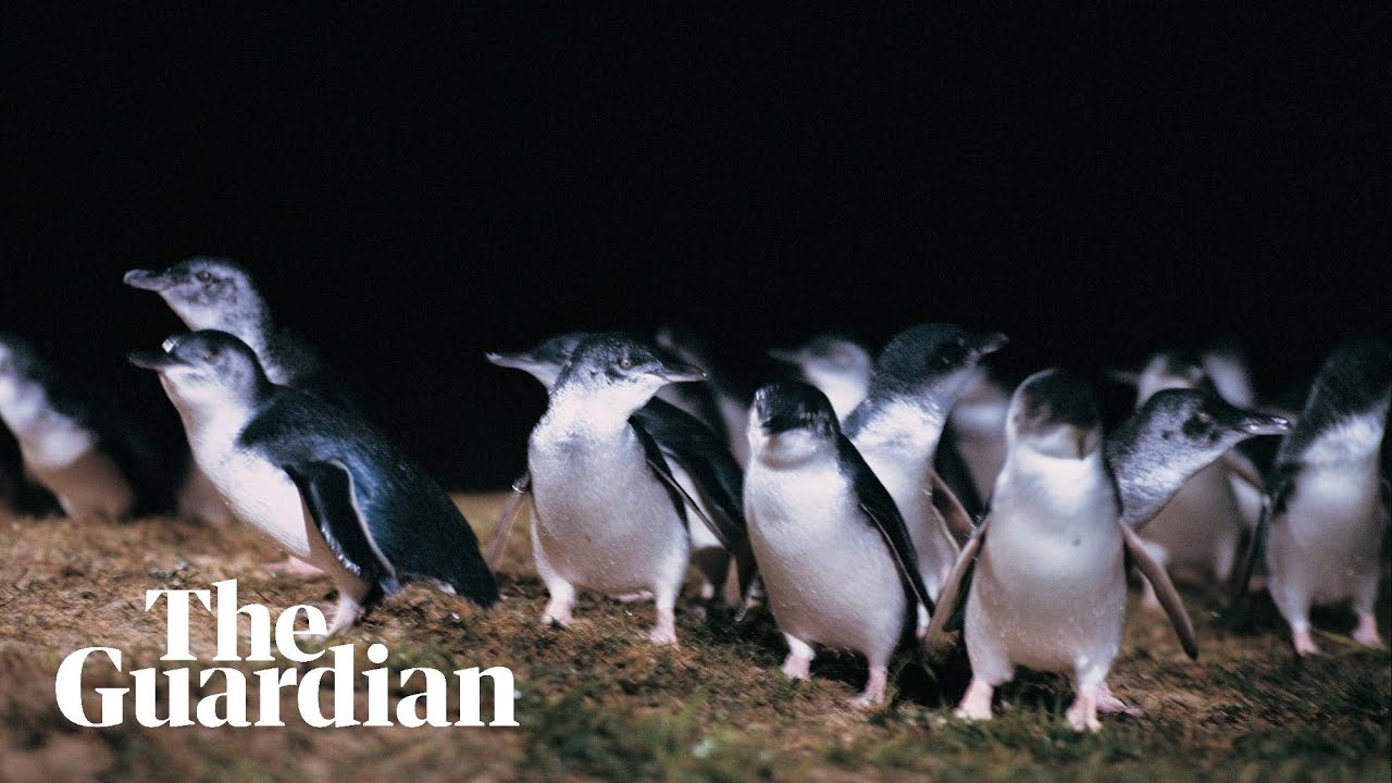 BBC sports commentator narrates Australia's penguin parade in lockdown voiceover
