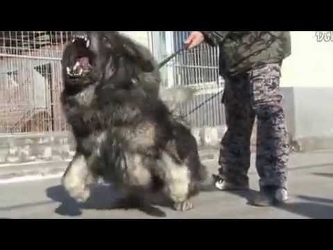Big Lion Tibetan Mastiff