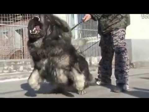 Tibetan Mastiff Lion Haircut