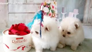 available. female puppy Spitz 3 and 4, date of birth 15.12.2020