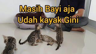 Edisi Kucing Beli 5 Bayi Bengal Youtube