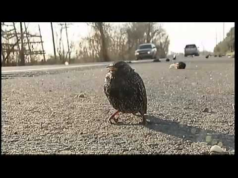 Download 100s dead birds fall from sky in US and Sweden