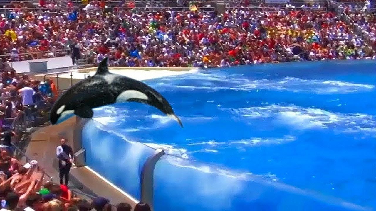 Download An Orca Jumped Out Extremely High and Scared Its Trainer