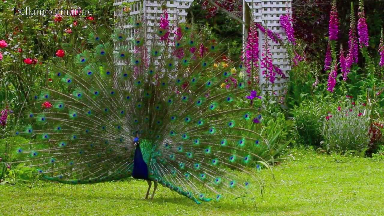 BEAUTIFUL PEACOCK GARDENS ☜Ⓞ☞ TASMANIA   YouTube Part 54