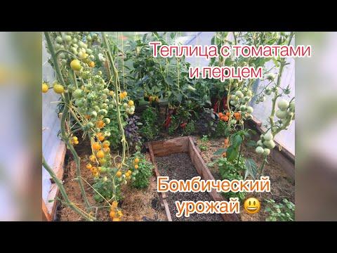 Теплица с томатами и перцем\\ ПРОСТО БОМБИЧЕСКИЙ УРОЖАЙ!\\ Отзывы об агрофирме ПАРТНЁР.