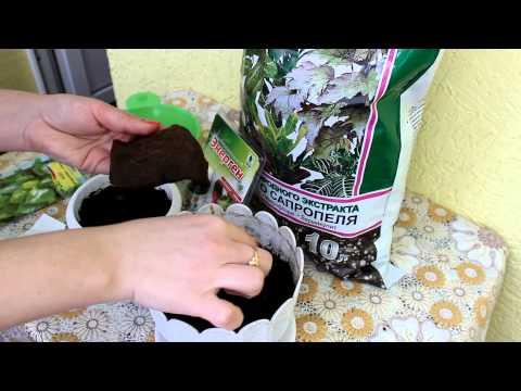 Посев семян комнатных растений. Жакаранда и фикус священный. [Надежда и Мир]