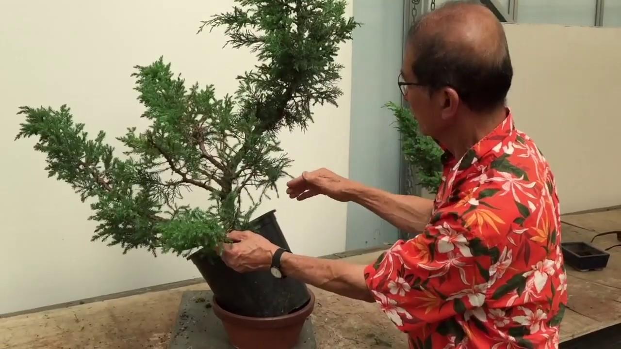 Simple Bonsai From San Jose Junipers Part 2 Youtube