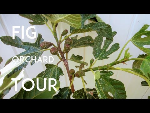 Fig Orchard Tour - Part 1