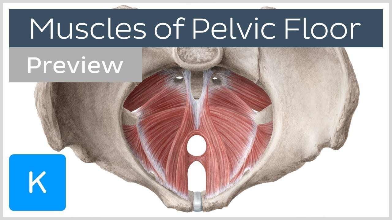 Muscles of the pelvic floor (preview
