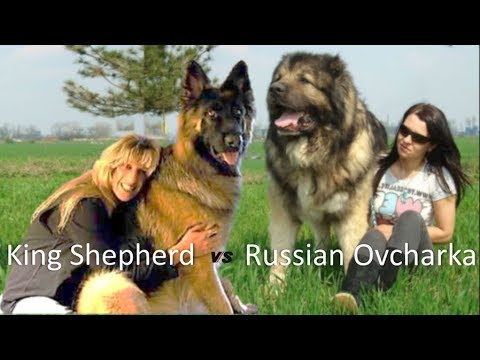 American King Shepherd Vs Russian Ovcharca (Dog breed Info and comparison)