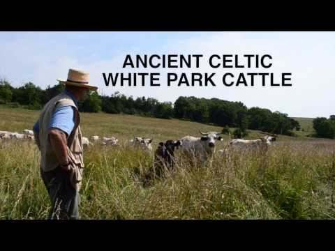 Breed Profile: Ancient Celtic White Park Cattle