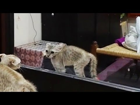 Cats vs. Mirrors 😹 Funny Cats Reaction With Mirrors (Full) [Funny Pets]
