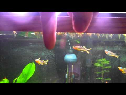 Species Sunday - Forktail Rainbows
