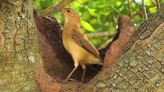 vuclip Bird Engineering, Rufous Hornero, bird building its nest, Furnarius rufus, wild birds,