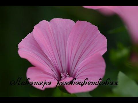 Лаватера.  Посадка и уход. lavatera flower.
