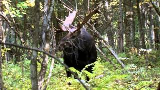 maine moose hunt the charge omm outfitters world class hunts cabelas s certified outfitter