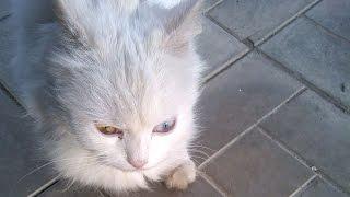 РазноГлазый белый кот