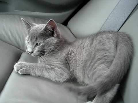 CUTE Russian Blue x Tabby Kitten
