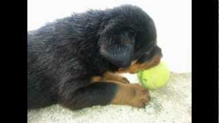 2013 Akc Rottweiler Puppies For Sale (apollo And Venus Puppies)