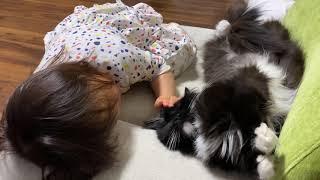 娘からはどんな触り方でも許しちゃう猫 ラガマフィンA cat showing its abdomen unprotected. Ragamuffin.