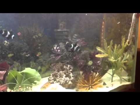 Clownfish Eating Myses Shrimp