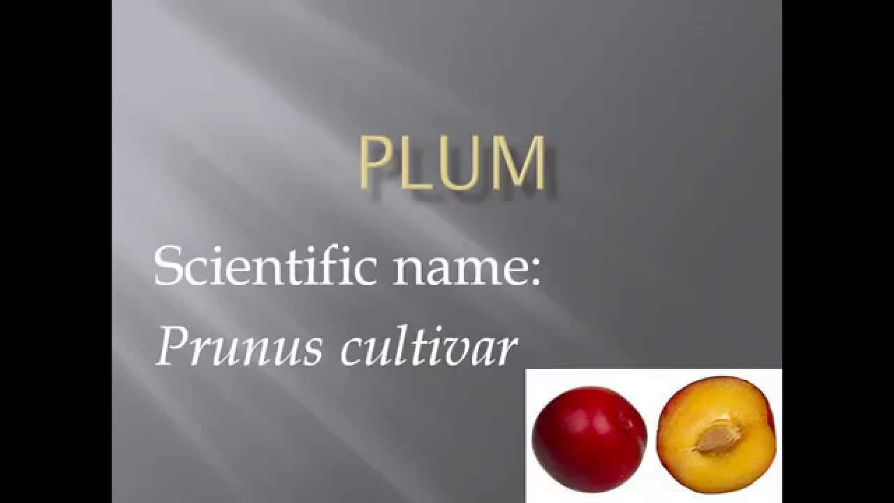 Pronunciation Picture And Scientific Name Of Fruit Plum Youtube