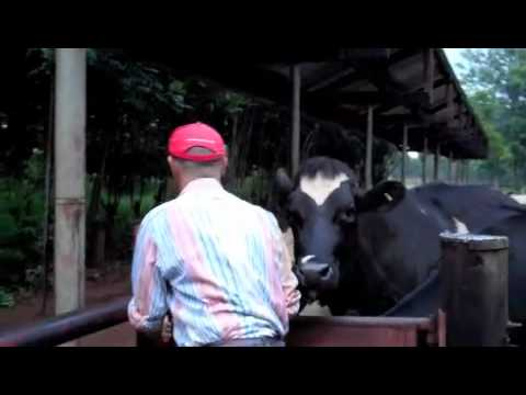 Dry Milking with Jos