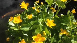 Marsh Marigolds in flower, Pond plant Information on caring. HD