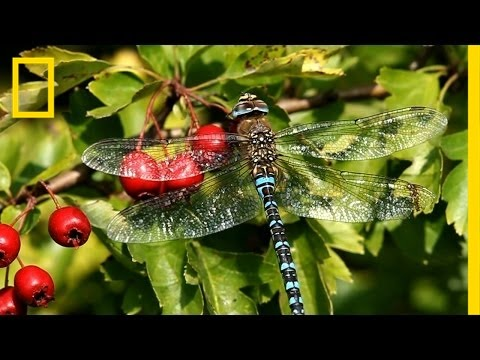 The Secret World of Dragonflies | Short Film Showcase