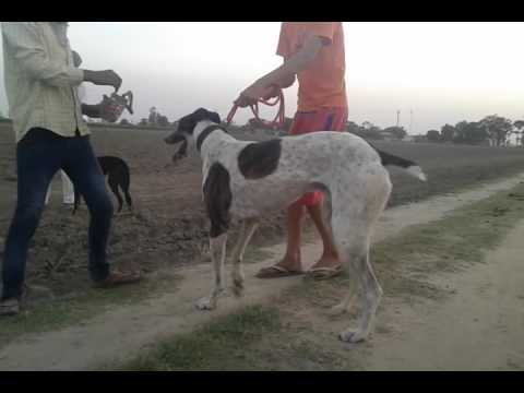 Dog racing in punjab shergarh